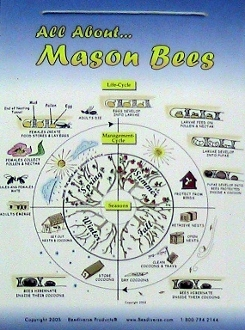 Mason Bee Life Cycle Poster