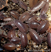 Isopods: 30-pack